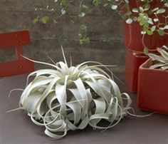 Xerographica air plants at wholesale prices. http://www.airplantshop.com/Wholesale_Air_Plants_s/1834.htm