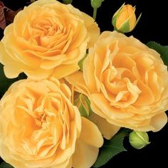 I can never see yellow roses the same way again. Yellow roses are my sorority flowers. And my mom's favorite :) (Julia Child rose) Pictures Of Yellow Roses, Yellow Flowers, Pretty Flowers, Rose Flowers, Amazing Flowers, Pink Roses, Floribunda Roses, Shrub Roses, Pépinières Rose