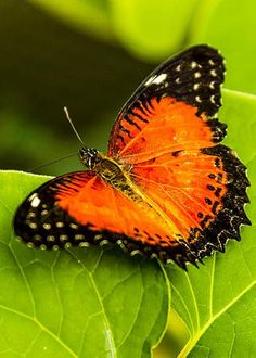 Red Lacewing Butterfly by Teri Virbickis