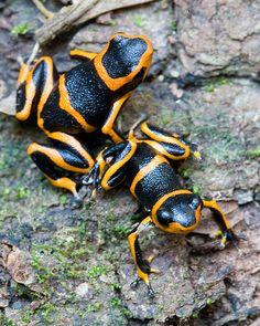 Ranitomeya summersi and Ranitomeya imitator, Summers' and Mimic Poison Frogs in habitat displaying mimicry. Departmento San Martin, Peru.