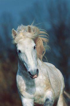 Камаргская - фотографии - equestrian.ru