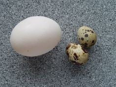 Eggs of a Quail (Coturnix sp.), in comparison to a chicken's egg.