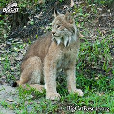 Skipper Canadian Lynx - Skipper was the first of the Kansas cats to exit his crate and begin exploring his new enclosure at Big Cat Rescue. He cautiously stepped into his enclosure while looking all around at all of the new sights. After a few steps he turned and looked at the Big Cat Rescuers who had just released him from his crate and then took a few big stretches before moving on and investigating every last nook and cranny of his new home.