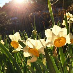 【lupinusj】さんのInstagramをピンしています。 《明けましておめでとうございます🎍 今年もどうぞ宜しくお願い致します . happyで充実した素敵な一年をお過ごしください😊 . #Japan#2017#happiness#Sunrise#Natural#Everyday#image#flower#botanical#Earth#photographer#Tree#world#Bohemian#zen#art#forest#Landscape#countryside#sky#新年#おめでとう#花#水仙#太陽#光#朝日#植物#自然#森》