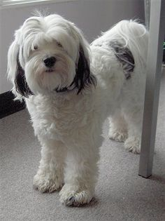 Daisy, the Tibetan Terrier