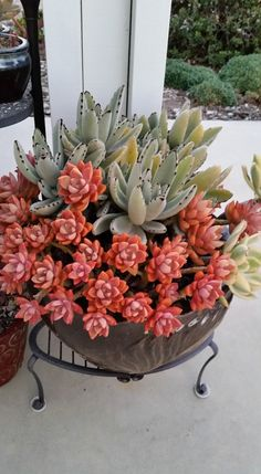 Kalanchoe tomentosa and Graptosedum 'California Sunset' by Paula Deubig