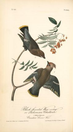 Black-throated Wax-wing, or Bohemian Chatterer. 1. Male. 2. Female. (Canadian Service Tree). (1840-1844)