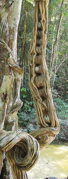 Bauhinia guianensis, a Monkey Ladder Liana. Weird Trees, Twisted Tree, Unique Trees, Tree Trunks, Big Tree, Nature Tree, Tree Forest, Tree Leaves, Tree Bark