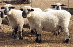Pregon Agropecuario :: OVEJAS QUE MARCAN TENDENCIA - Otros Ganados y Carnes - Ovinos