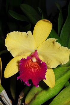 Rlc: Rhyncholaeliocattleya 'Alma Kee' - Flickr - Photo Sharing!