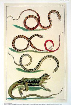 Snakes Serpents Lizard  Albertus Seba Book by mysunshinevintage