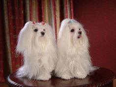Image detail for -Maltese Dogs wallpaper - Dogs Wallpaper (13937365) - Fanpop fanclubs