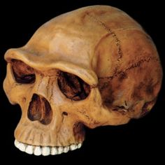 """Homo erectus Cranium ► P̲r̲i̲c̲e̲: $159.00  ► To Buy Click Above Images ► ✓This Item is an Identical Museum Reproduction - Finish: Antique Aged finish Dimensions: 5.25""""H x 6.75W"""" x 9""""L (13 cm x 17 cm x 23 cm)  ► Shipping worldwide #egyptian #Sculptures #ancientgallery"""