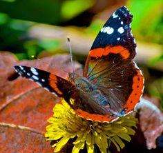 butterfles | Butterfles