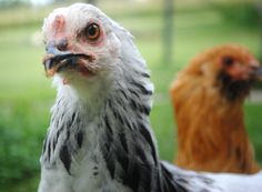 Choosing the best breed of chicken for the zombie apocalypse! Or any off-the-grid situation.