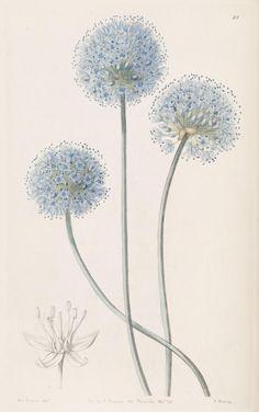 (1840) - Edwards's botanical register. London :James Ridgway,1829-1847