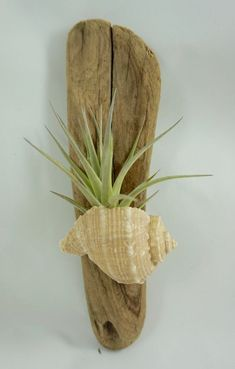 Air Plant in a Shell on Driftwood by ginamariep on Etsy Air Plant in einer Muschel auf Treibholz by ginamariep on Etsy Tillandsia Seashell Crafts, Beach Crafts, Home Crafts, Seashell Art, Etsy Crafts, Driftwood Projects, Driftwood Art, Air Plant Display, Plant Decor