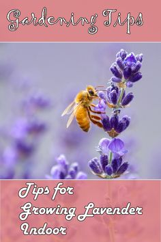 Lavender can be planted in door as well and it serves as a great plant with wonderful aroma and splendid outlook with Lavender House Plants. >>> Click image to read more details.