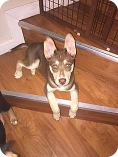 Powder Springs, GA - Siberian Husky/Doberman Pinscher Mix. Meet DUCHESS, a dog for adoption. http://www.adoptapet.com/pet/12696488-powder-springs-georgia-siberian-husky-mix