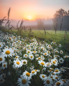 Today s Featured Artist:.Please visit his/her beautiful gallerySelected by Anett Flowers Nature, Wild Flowers, Beautiful Flowers, Beautiful World, Beautiful Places, Beautiful Pictures, Daisy Field, Field Of Daisies, Blossom Garden