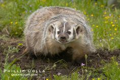 American Badger, Taxidea taxus (Mustelidae)