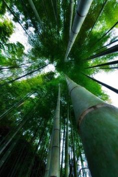 bamboo forest by nannie