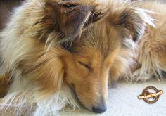 Sleepy Sheltie