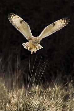 #Owl coming in for a landing