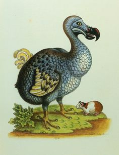 Dodo Bird & Guinea Pig Extinct Bird Print Early by earlybirdsale, $5.00