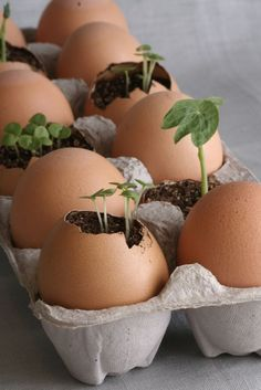 Such a great idea - Start seedlings in an egg shell and, when ready, plant the entire thing. The egg shells will naturally compost providing valuable nutrients to your plants.