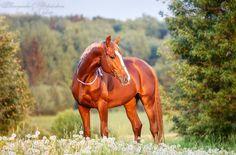 Beautiful chestnut horse