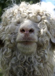 Texas angora sheep: look at that curls!