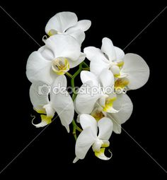 White orchid blooms.