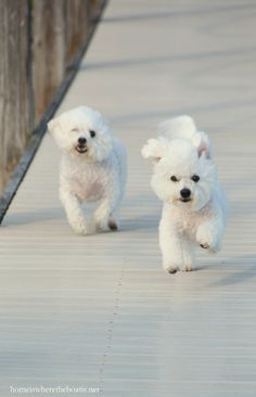 Chloe and Gracie running to boat| homeiswheretheboatis.net #BichonFrise