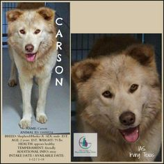*CARSON KILL NOW*  NAME: Carson  IAS: Irving, Tx  ♥ 2 y/o Friendly M Shepherd-X ID 18899534 75 lbs Intake 1/12 Avail 1/18 ♥ Volunteer Note/s 1-19: Gorgeous dog in person and seems really sweet. He is med/large in size and has the softest fur and most intense eyes. He is a polite well behaved boy and won the hearts of a couple who remarked that he is a WONDERFUL dog.;)  ♥ ♥ TO DONATE TO CHIPIN: http://irvingshelterdogs....See More — at Urgent Animals at the Irving Animal Shelter THANK YOU…