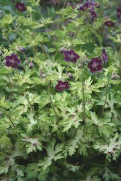 Geranium phaeum Springtime (Springtime Hardy Cranesbill)-Plant Delights Nursery, Inc.