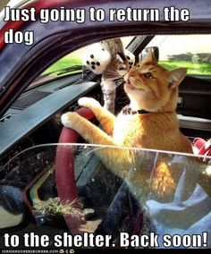 Lolcats - drive up - lol at funny cat memes - funny cat pictures Funny Cat Memes, Funny Cat Videos, Funny Animal Pictures, Cats Humor, Funny Troll, Car Memes, Funny Cats And Dogs, Silly Cats, Cats And Kittens