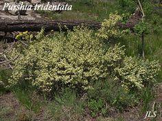 Purshia tridentata (Bitterbrush)