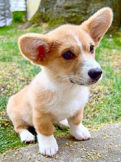 Cute Corgi Puppy, Corgi Funny, Corgi Puppies, Cute Puppies, Dogs And Puppies, Baby Animals, Cute Animals, Cute Baby Dogs, Cute Animal Photos