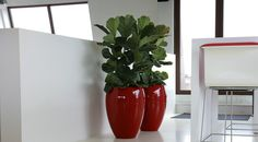 Ficus Lyrata - love the red pots for them