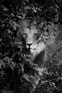 Our best image: 'Camouflaged' by Ruth Nussbaum. Animals Images, Sea Creatures, Big Cats, Tigers, Lions, Camouflage, Wildlife, Kitty, Black And White