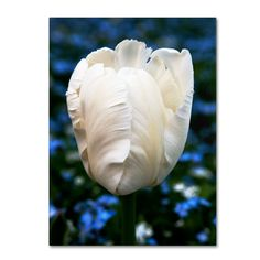 Parrot Tulip by Kurt Shaffer Photographic Print Gallery Wrapped on Canvas