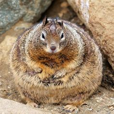 World's Fattest Squirrel