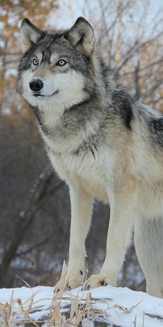 Dog Breeds List That Look Like Wolves (Wolf Dogs) - Animal Home Garden Beautiful Wolves, Animals Beautiful, Cute Animals, Wild Animals, Baby Animals, Wolf Photos, Wolf Pictures, Wolf Spirit, My Spirit Animal
