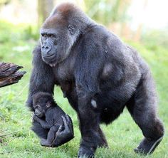 Gorilla carrying their baby.