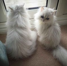 Persian Cat Gallery - Cat's Nine Lives Cute Baby Cats, Cute Cats And Kittens, Cute Baby Animals, I Love Cats, Crazy Cats, Kittens Cutest, Animals And Pets, Funny Animals, Pretty Cats