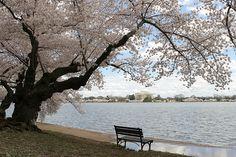 Washington DC Cherry Blossom Peak Bloom Photos, Thomas Jefferson Memorial