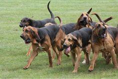 dogsandpupsdaily:  - Bloodhound.Want more? Follow:http://dogsandpupsdaily.tumblr.com/