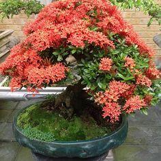 Ixora Anã bonsai