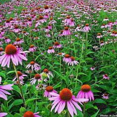 Remedy of The Day: Echinacea. Its also helpful for stress and as a general tonic #herbs #remedieshttp://www.frannsalthealth.com/blog/echinacea-health-benefits/
